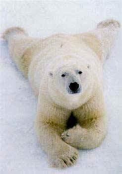 Ambie1 for Cabine marine di grandi orsi